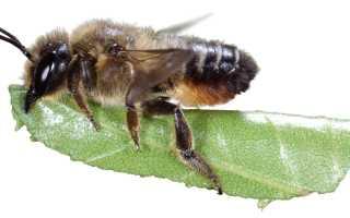 Пчелы — листорезы: кто они, особенности, польза и вред породы