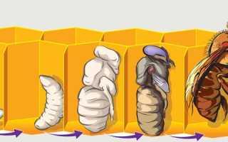 Что такое расплод пчел и о чем он нам говорит