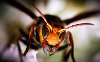 Африканские пчелы-убийцы и почему они опасны