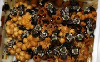 Есть ли шмелиный мед и как его добывают