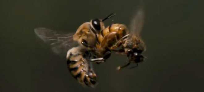 Партеногенез пчел