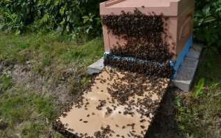 Основные причины роения пчел и как его избежать