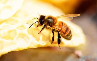 Описание породы пчел Бакфаст, почему они востребованы у пчеловодов?