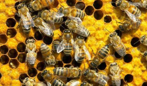 здоровые пчелы