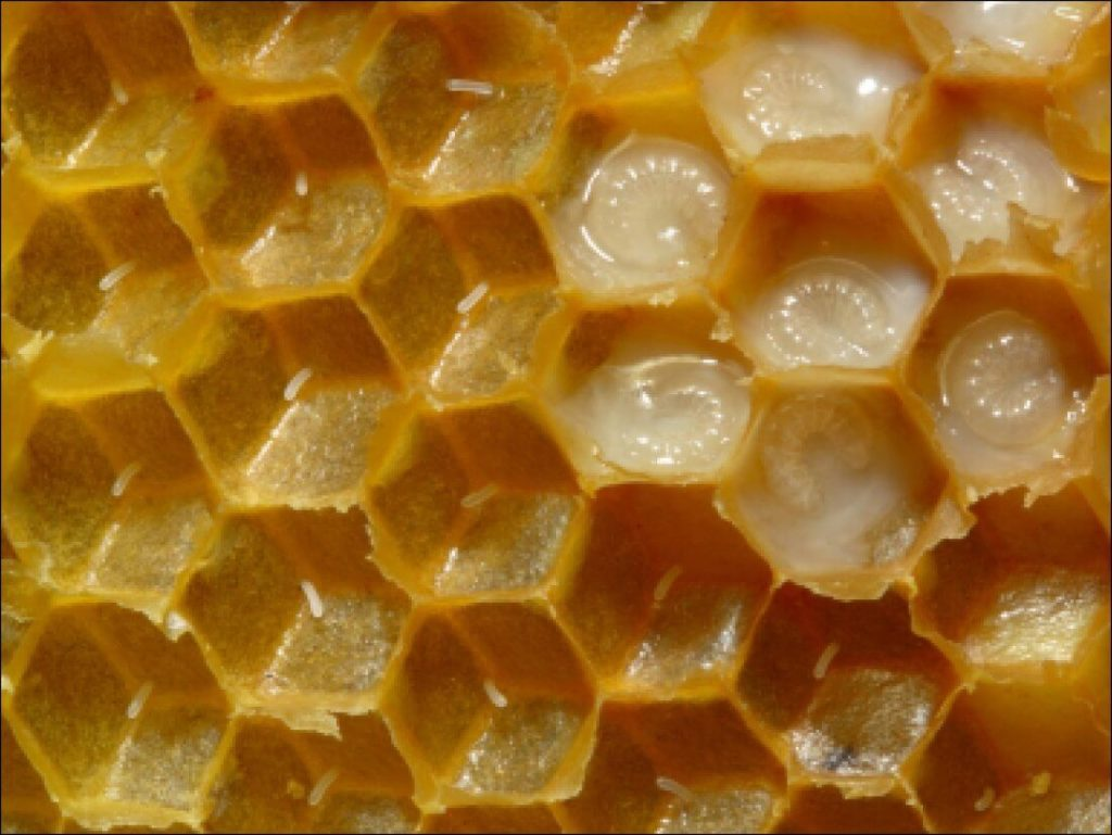 Маточное молочко пчел