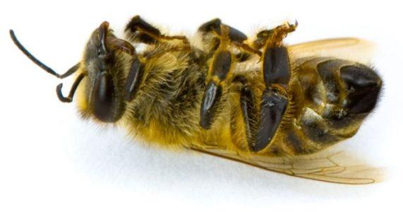 мертвая пчелка