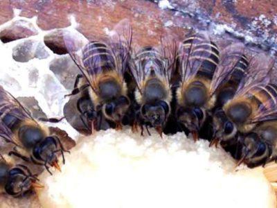 канди для пчел