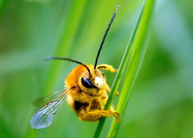 Питание пчелы медоносной