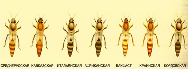 Породы медоносных пчел