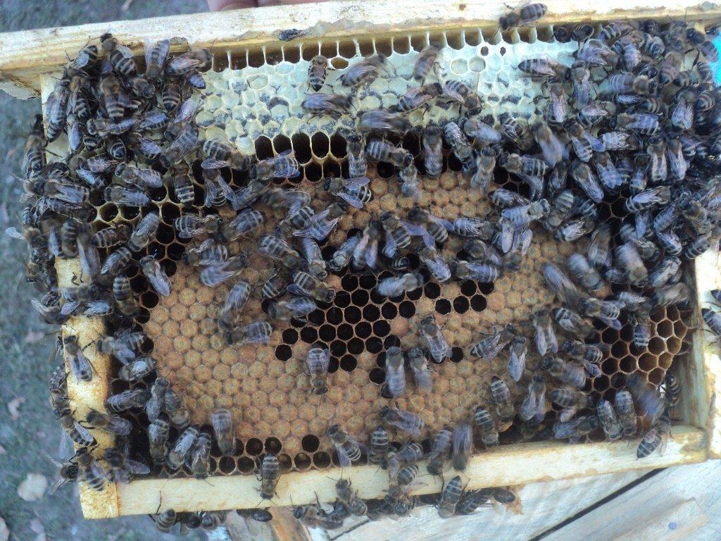 Порода пчел Карника и их особенность