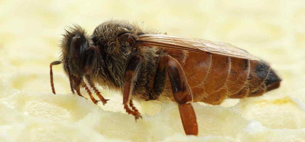 Сколько пчелосемей в одном улье