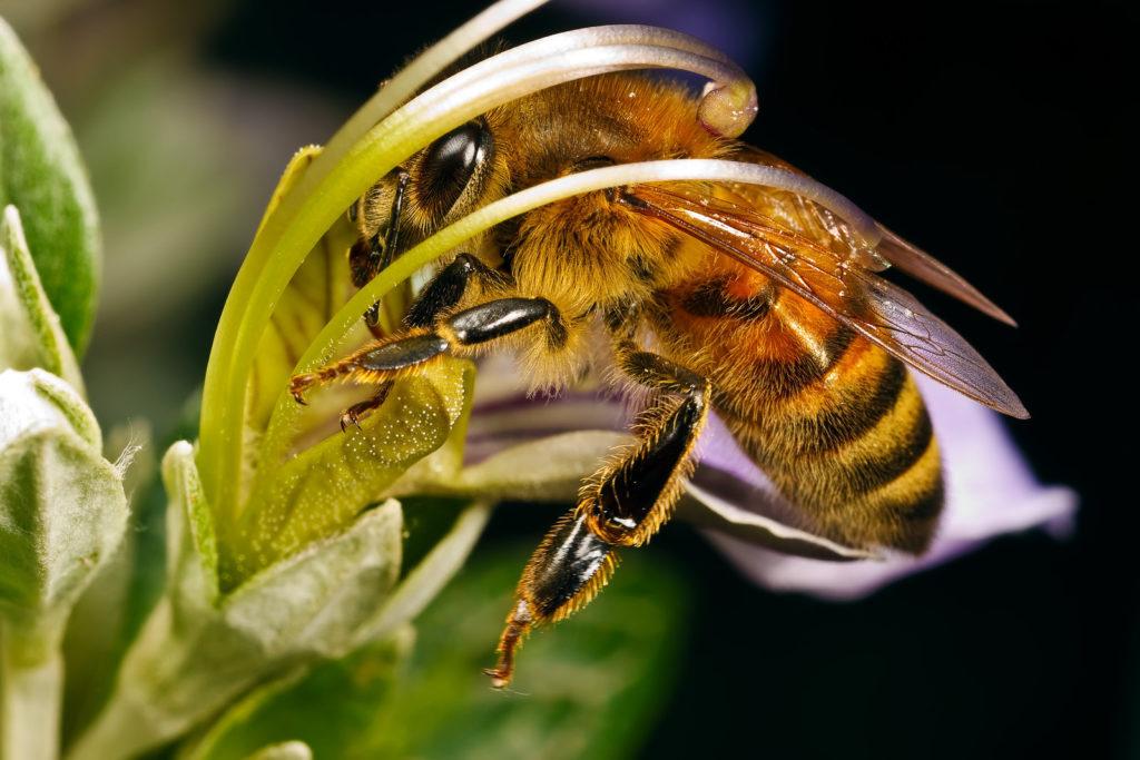 Породы пчел - описание самых продуктивных и популярных медоносных пород (100 фото)