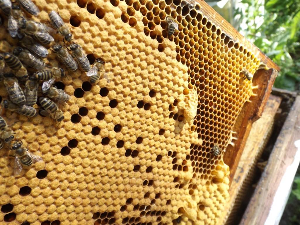 горбатый расплод у пчел фото фольгу выпекайте