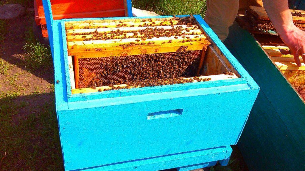 Пересадка пчелопакета в улей: как пересадить правильно