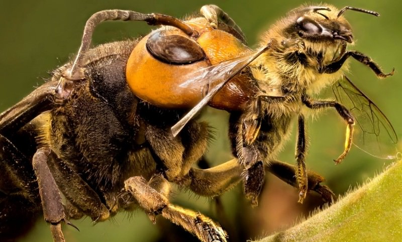 Пчелыубийцы африканская фото - Скороспел