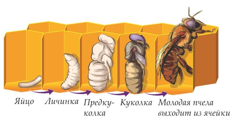 Личинки пчел и молодые пчелы: как выглядят, в чем особенности их развития и польза?