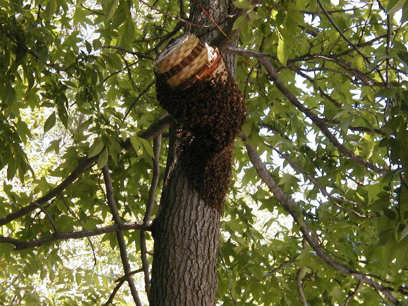 Роение пчел начинающему пчеловоду